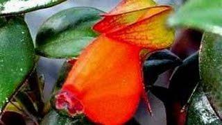 Нематантус цветок Золотая рыбка