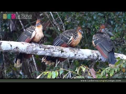 Hoatzin Stinkbird - La Selva Amazon Ecolodge & Spa - Ecuadorian Amazon
