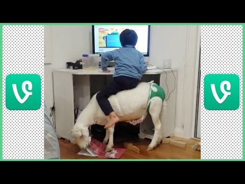 FUNNY PET SHEEP IN HOUSE | SHEEP & KIDS VINE COMPILATION PART 1