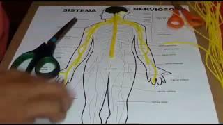 Maqueta sistema nervioso Cesar Vega