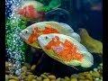 Feeding oscar fish and arowan fish