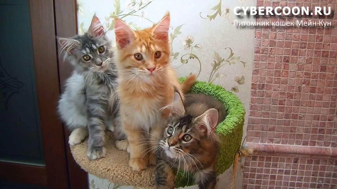 кот мейн кун Золтан - YouTube