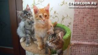 Кошки Мейн Кун - очень опасные звери :) MaineCoon#(, 2016-05-29T15:21:00.000Z)