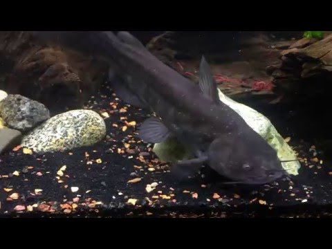 Feeding Brown And Yellow Bullhead Catfish