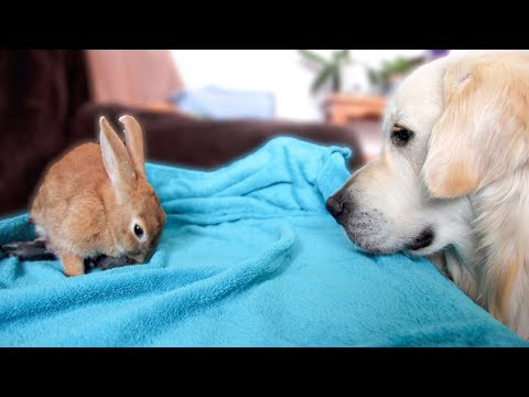Dog Reacts to Rabbit Mother feeding her Baby Bunnies 1 Day Old