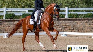 Bingotti Hanoverian Stallion