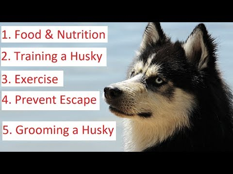 Siberian Husky 101 - Feeding, Socializing, Training and Grooming a Husky
