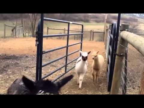 Funny Alpaca Music Video