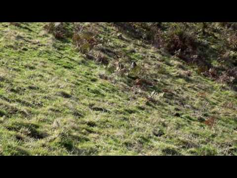 English Toy Terrier hunting birds