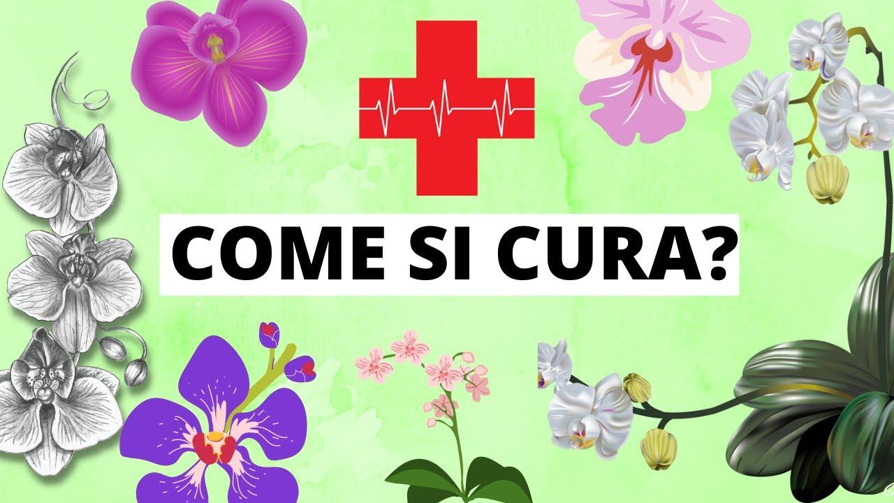 Come curare e mantenere le orchidee da appartamento ...
