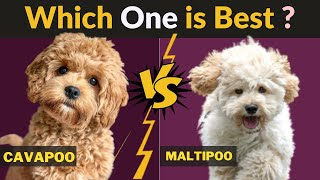 Cavapoo vs Maltipoo  Comparison Between Two Dog breeds