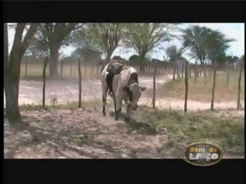 Boi Cigano - DVD Bom de Laço