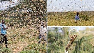 Nzige Bilioni 380 toka Jangwani wavamia maeneo ya Kenya, haijawahi kutokea tangu miaka 70 iliyopita