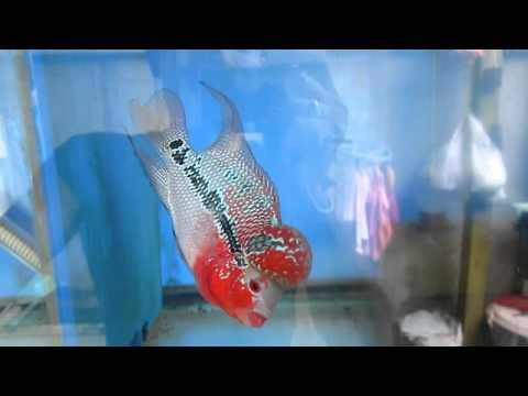 ปลาหมอสีแม่กลอง 0867758674