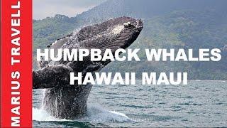 Humpback Whales Hawaii Maui