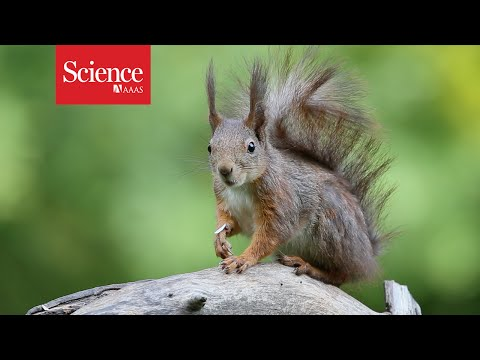 The battle to save the red squirrel