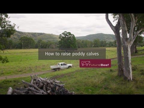 How to raise poddy calves