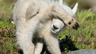 כבשים מצחיקים