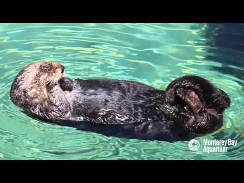Wild Sea Otter Visits Our Great Tide Pool