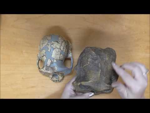 Australopithecine species