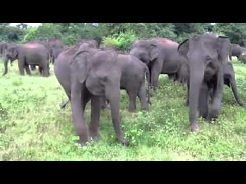 Sri Lanka - Kaudulla NP, elephants III. Travel Video