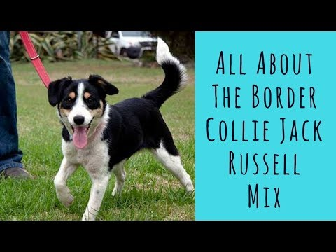All About The Border Collie Jack Russell Mix (The Border Jack)