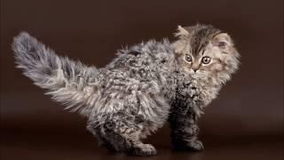 Кошка-овечка. Селкирк Рекс. Породы кошек!