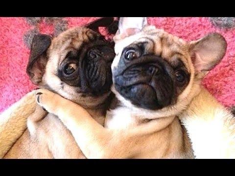 Самые смешные в мире собаки - мопсы (Дальше еще 40)