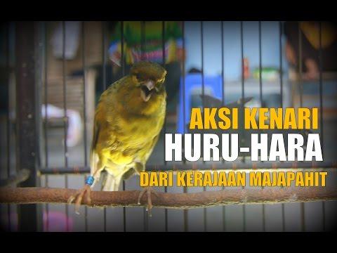 Download Lagu SUARA BURUNG : Aksi Kenari Huru-Hara Pemakan Daun Binahong Dari Kerajaan Majapahit