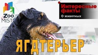 Ягдтерьер - Интересные факты о породе  | Собака породы ягдтерьер