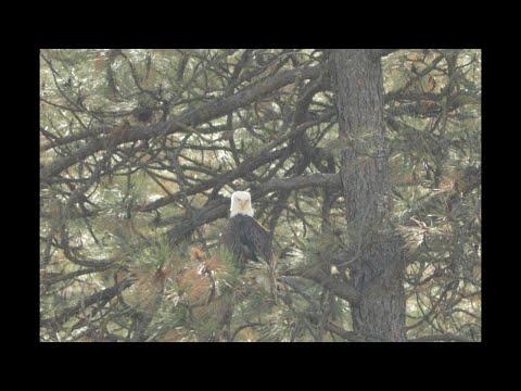 Bald Eagle @ Hawk Creek
