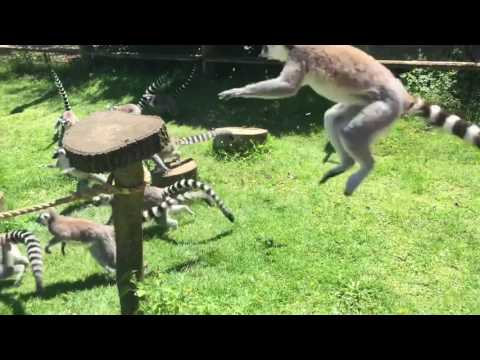 Gang of lemurs attack duck and duckling