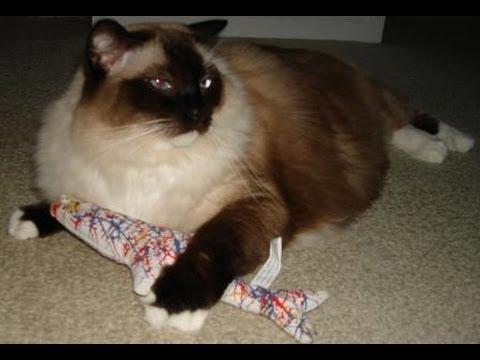 Ragdoll Cat Plays With The Yeowww! Pollock Fish ねこ - ラグドール - Floppycats