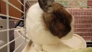 【兔寶Lulu的日常】高麗菜時間~