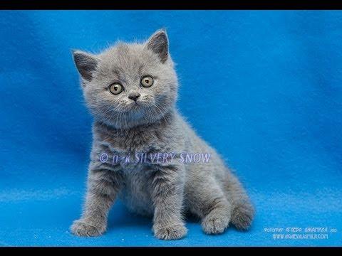 Британские и Шотландские коты и кошки, британский кот для