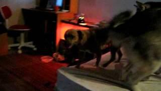 London And Lily - Alaskan Malamute And Pit Bull Mix Playing