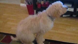 Golden Doodle Doing Dog Tricks At 5 Months