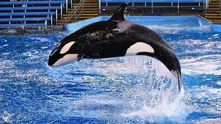 Killer Whale Exercise Session at SeaWorld San Antonio 8/24/18
