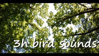 +++ 3 hours of relaxing MORNING BIRD SONG +++ nature sounds + also for cats + LongingForNature