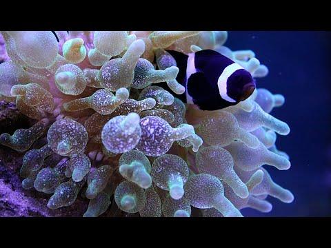 Clown Fish And Anemone Hosting