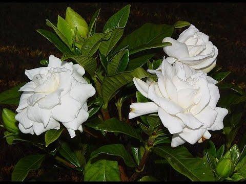 Цветок гардения как за ним ухаживать 54