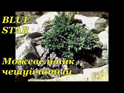 Можжевельник виргинский Глаука , описание, фото, условия