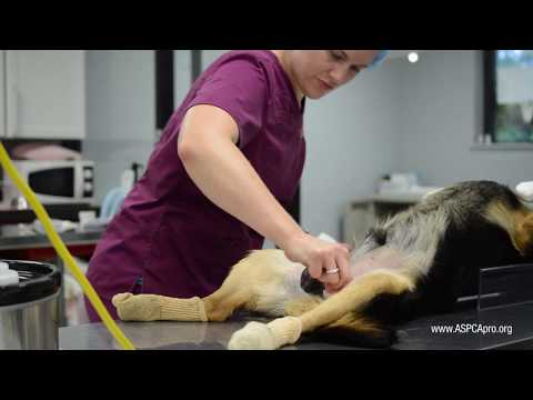 Spay/Neuter Patient Care: Patient Prep - Canine