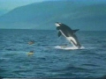 Best Wild Orca Compilation   Amazing Reactions To Humans   New Zealand