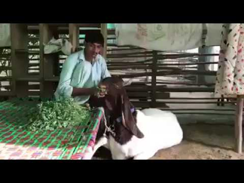Muslim Men Serving VIP Goat for Qurbani at Bakra Eid 2018 Eid ul 2018