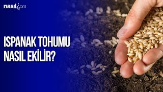 Ispanak Tohumu Ekimi Nasıl Yapılır