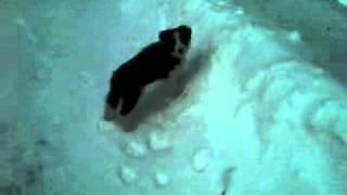 Border Collie Puppy - Snow Vau Vau