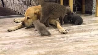 котята и лабрадор