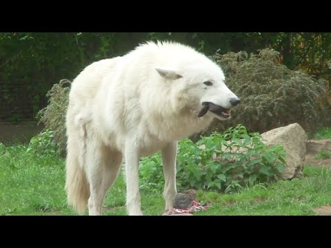 Wolf eat Rabbit Head and Chicken - Howling Wolf Hungry ...