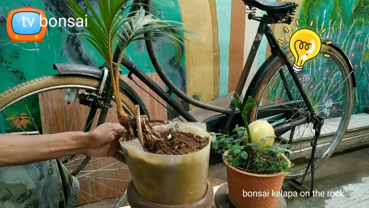 Cara Bikin Bonsai Kelapa Cengkeram Batu Howto Make Coco Bonsai On